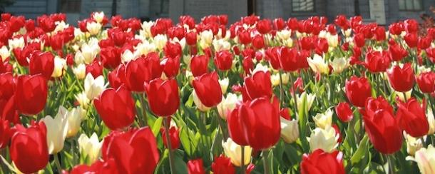 McGill tulips